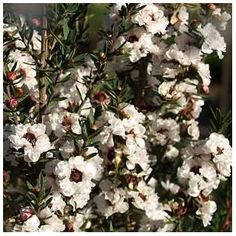 Manuka [honey] - Leptospermum scoparium - New Zealand Tea Tree / Manuka Tea Tree (in the 'bottle brush' family of plants).  The flowers are all but irresistible to bees. Grow in full sun / part sun in well-drained soil.  Hardy.  Eventual height and spread: 3m x 2m (approx 10ft x 6ft 6in).