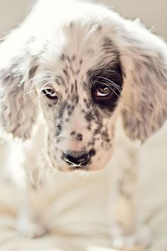 "Sparrow, an 8-week-old Ryman English setter, may be deaf, but that doesn't slow her down in the field, says owner Danica Barreau, who writes this is one pup that's ""totally ready to take over the world."""