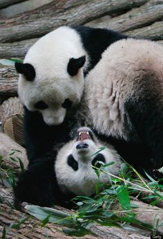 Yuan Zi, a male giant panda and Huan Huan, a female giant panda, share their life inside their enclosure at Zoo Parc De Beauval on January 25, 2012