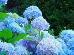 """Hydrangea Garden Landscape Summer Floral Blue"" by Baslee Troutman Fine Art Prints, NORTHWEST // HYDRANGEA FLOWERS Art Prints, Blue Lavender Hydrangeas blooming in Botanical Art Garden, Summer Hydrangeas Art Prints, Canvas Art, Framed Artwork, Greeting Cards. Follow Baslee Troutman Art Collections at Twitter"