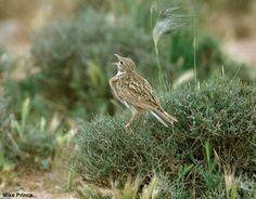 Photographie de Mike Prince (Wikipedia) : Sirli de Dupont (Chersophilus duponti) chanteur au Maroc, mai 2010. #ornithologie #oiseaux #nature