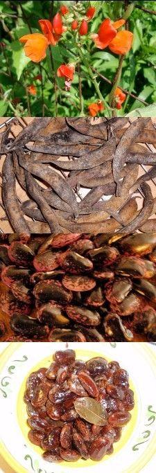 Hudson Valley Seed Library 'Scarlet Runner' Bean- attractive flowering vines, tasty as a soup bean. Soup Beans, Runner Beans, Flowering Vines, Hudson Valley, Clematis, Vegetable Garden, Organic Gardening, Scarlet, Halloween Ideas