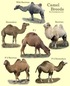 Printable Picture of a Camel | Click on photo for full view.