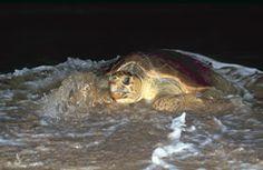 Bundaberg Caravan Park - Bundaberg East Cabin and Tourist Park - your accommodation for tours to the Mon Repos Turtles. Loggerhead Turtle, Turtle Conservation, Go Camping, Caravan, Places To Go, Bucket, Park, Animals, Animales