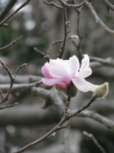 Star Magnolia on the Carriage House Lawn