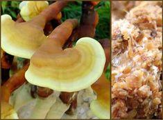 Field And Forest - Reishi - (Ganoderma lucidum) Sawdust Spawn Grow Your Own Mushrooms, Growing Mushrooms, Mushroom Species, Mushroom Cultivation, Large Glass Jars, Clear Plastic Bags, Spawn, Stuffed Mushrooms, Gardens
