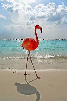 Aruba Pink Flamingo