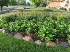 Second year native perennial bed in front yard. Wild Geranium (purple), Columbine (Red & Yellow), Big Leaved Aster (will flower in August and September). Wild Geranium, Aster, Native Plants, Geraniums, Perennials, Stepping Stones, Sustainability, Nativity, Beds