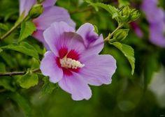 해독 작용을 하고 피부병을 치료하는 나무 무궁화 학명 Hibiscus syeiacus Linne 다른이름 목근화 생약명 목근피(木槿皮)- 가지와 뿌리의 껍질을 말린 것 목근화(木槿花)- 꽃을 말린 것 특징 아욱과. 갈잎 떨기나무. 민가 부근에 심으며 높이 2~4m 자란다. 잎은 어긋나며 달걀 모양이고 가장자리에 거친 톱니가 있다. 꽃은 7~10월에 보통 흰색과 분홍색으로 피고 안쪽에 진한 자홍색 무늬가 있으며 잎겨드랑이에 1송이씩 달린다..