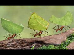 Como eliminar e afastar formigas facilmente dos Pomares e Hortas! - YouTube