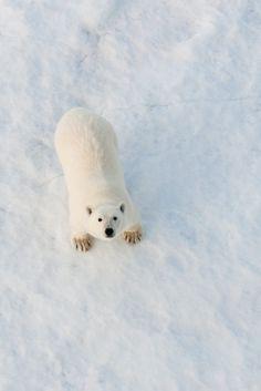 polar bear | animal + wildlife photography