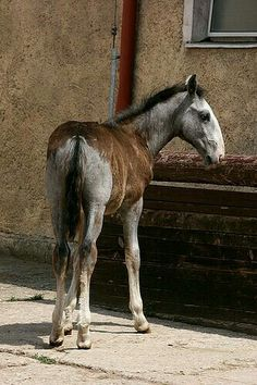 The Kladruber (Czech Kladrubský kůň) is the oldest Czech horse breed and one of the world's oldest horse breeds. Pony Breeds, Horse Breeds, Most Beautiful Animals, Beautiful Horses, Campolina, Types Of Horses, Baby Horses, All The Pretty Horses, White Horses