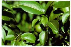 Manchineel: Tree reaches 15 meters, alternate shiny green leaves, small green flowers. Green fruits, greenish-yellow when ripe. *CAUTION* Toxic, dermatitis after1/2 hour. Smoke from burning plant irritates eyes. Not a food item! Coastal regions in south Fla.,Caribbean, Central America, northern South Africa.