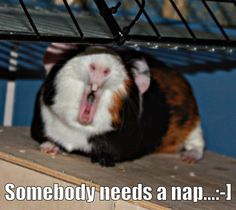 Piggy partied too hard with his friends. Piggy got tired. Pet Guinea Pigs, Guinea Pig Care, Funny Animals, Cute Animals, Cute Piggies, Animals Of The World, Beautiful Creatures, Pet Birds, Pets