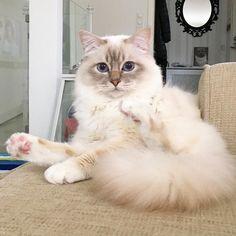 Talking to me? #popcorn #poppylove #birma #birman #breeder #catsofinstagram #chokladochvanilj #pinkalicious #welovecats #we_love_cats