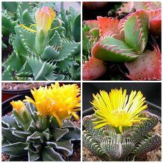 10 Sementes de Faucaria Mix - Suculenta - Garden Mania Sementes e Mudas