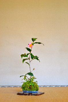 Camellia japonica 'Robiraki' Kokedama