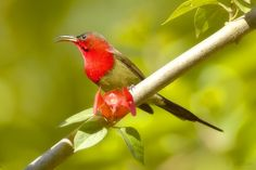 "Crimson Sunbird - Aethopyga siparaja - A resident breeder in tropical southern Asia from India to the Philippines. This small bird, about 4.33"" / 11 cm, has a long, down-curved beak and a brush-tipped tubular tongue, aiding in its feeding on nectar - Image credit : Yathin S K / Kaziringa National Park / Assam, India"