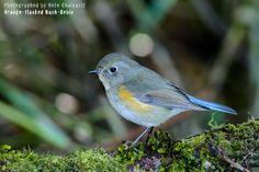 Orange-flanked Bush-Robin