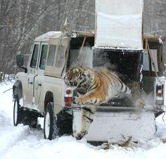 """""""Rescatado de una trampa puesta por cazadores furtivos, así salió del vehículo al ser liberado en su medio natural"""""""