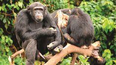 Uganda a prime destination for primate-lovers: Travel Weekly