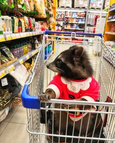 Baby Raccoon, Racoon, Cute Little Animals, Cute Funny Animals, Mundo Animal, My Animal, Animals And Pets, Baby Animals, Cute Rats