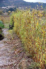 The living willow fence--one year later - Paris postcard