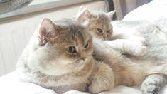 Holly Rose met Willow Fae, beiden blue golden shaded british shorthair, op hun favoriete slaapplekje.