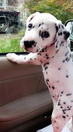 6 week old Dalmatian puppy! OMG