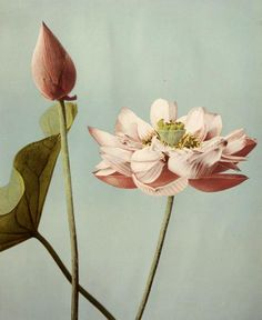 "last-picture-show: ""Ogawa Kazuma, Japanese Lotus Flowers, 1896 "" Art Floral, Floral Artwork, Flowers Illustration, Illustration Art, Illustrations, Japanese Lotus, Japanese Art, Japanese Flowers, Botanical Drawings"