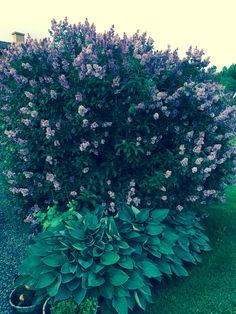 Ungarsk syrin og hosta synes jeg er en fin kombinasjon Plants, Flora, Plant, Planting