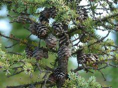 Black Spruce Newfoundland, Fruit Trees, Pharmacy, Flora, Garden, Black, Black People, Lawn And Garden, Newfoundland Dogs