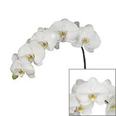 Phalaenopsis Orchid Anthura Beijing is a wonderful white variety. Wholesaled in boxes of 25 flower blooms (across stems). Plan for your upcoming wedding or event now with Triangle Nursery Phalaenopsis Orchid, Orchids, White Roses, White Flowers, Hand Tied Bouquet, Florist Supplies, Easter Celebration, Spray Roses, Flower Bouquet Wedding