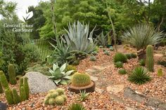 golden barrel cactus agaves succulent garden design Central Texas Gardener