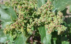 El consumo de hojas de cenizo, como verdura o en infusión, favorece la eliminación de los parásitos intestinales.