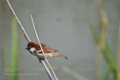 sparrow by crescenzov2 #animals #animal #pet #pets #animales #animallovers #photooftheday #amazing #picoftheday