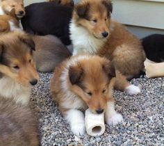 More sweet Collie puppies!