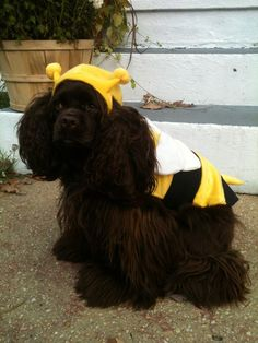 Happy Halloween!!  Scout the Chocolate Cocker Spaniel thrilled to be a bumble bee :)