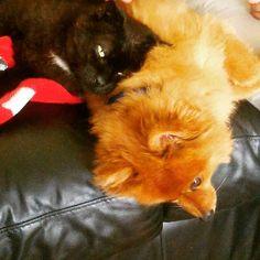 #sleepy #Sunday #Basil #Salem #buds #cute #love #naptime #cuddles #pets #cat #dog #pom #black #red Cuddles, Basil, Pets, Friends, Instagram Posts, Animals, Amigos, Animales, Animaux