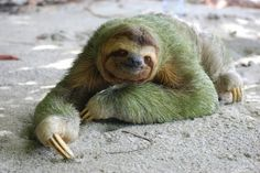 Mutualism: A Three-Toed Sloth, Moths, and Algae Baby Animals, Funny Animals, Cute Animals, Green Animals, Exotic Animals, Wild Animals, Cute Sloth Pictures, Weird Looking Animals, Dachshund