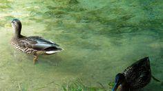 Parcul National Plitvice, o comoara naturala a Croatiei.  Vezi mai multe poze pe www.ghiduri-turistice.info Painting, Animals, Park, Animales, Animaux, Painting Art, Paintings, Animal, Animais
