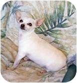 Spanaway, WA - Chihuahua. Meet Shorty a Dog for Adoption.