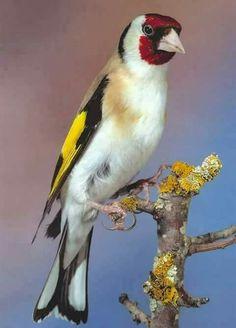 All Birds, Love Birds, Pretty Birds, Beautiful Birds, Zoo Photos, British Wildlife, Bird Artwork, Funny Birds, Goldfinch