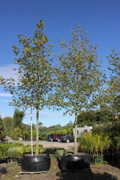 Platanus orientalis 1000L Deciduous Trees, Plants, Plant, Planting, Planets