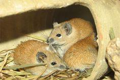 golden spiny mice