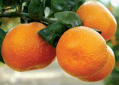 ¿Sirven Las Mandarinas Para Perder Peso? Descubre Los Valores Nutricionales De Las Mandarinas y Descubre Como Pueden Ayudarte a Perder Peso.