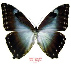 The Morpho cisseis is a fabulously colored butterfly from South America. The specimen pictured is a female.
