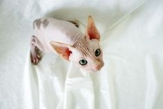 Sphynx cat #hairless pink