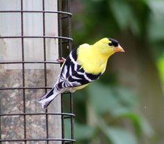 Photo by Deb Jencks Goldfinch, Bird Feathers, Birds, Nature, Photography, Animals, Naturaleza, Photograph, Animales