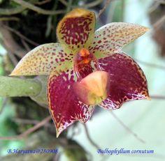 Horned Bulbophyllum (Bulbophyllum cornutum)